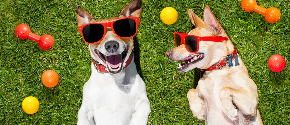 Two dogs in sunglasses on turf with toys around them